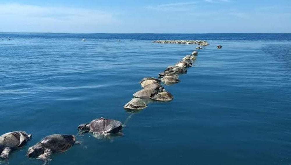 Tortugas sin vida flotan sobre las aguas del mar en Puerto Escondido