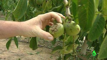 Una espectacular tormenta de granizo deja pérdidas millonarias en cultivos que estaban a punto de recogerse en Castellón