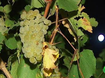 Recogida de uva nocturna
