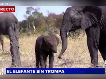 El triste caso de un elefante sin trompa
