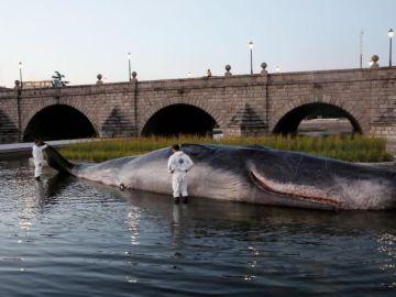 Cachalote 'varado' en el río Manzanares
