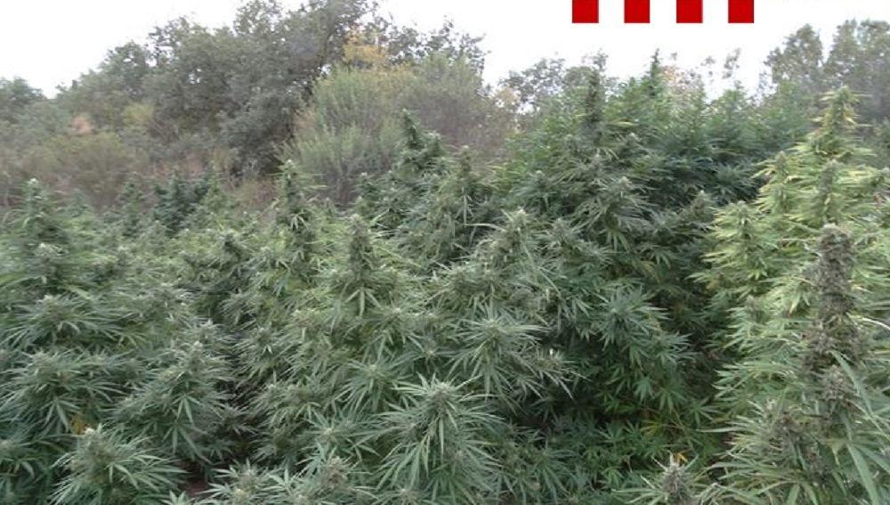Imagen de la plantación de marihuana en Girona