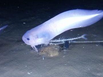 Nueva especie de 'pez baboso'