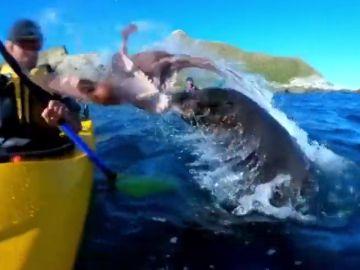 Una foca lanza un pulpo a la cara de un piragüista en Nueva Zelanda y el vídeo se vuelve viral
