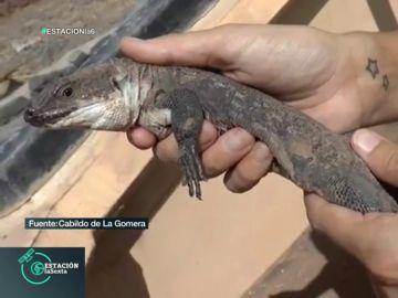 Uno de los 105 lagartos que han nacido en El Hierro