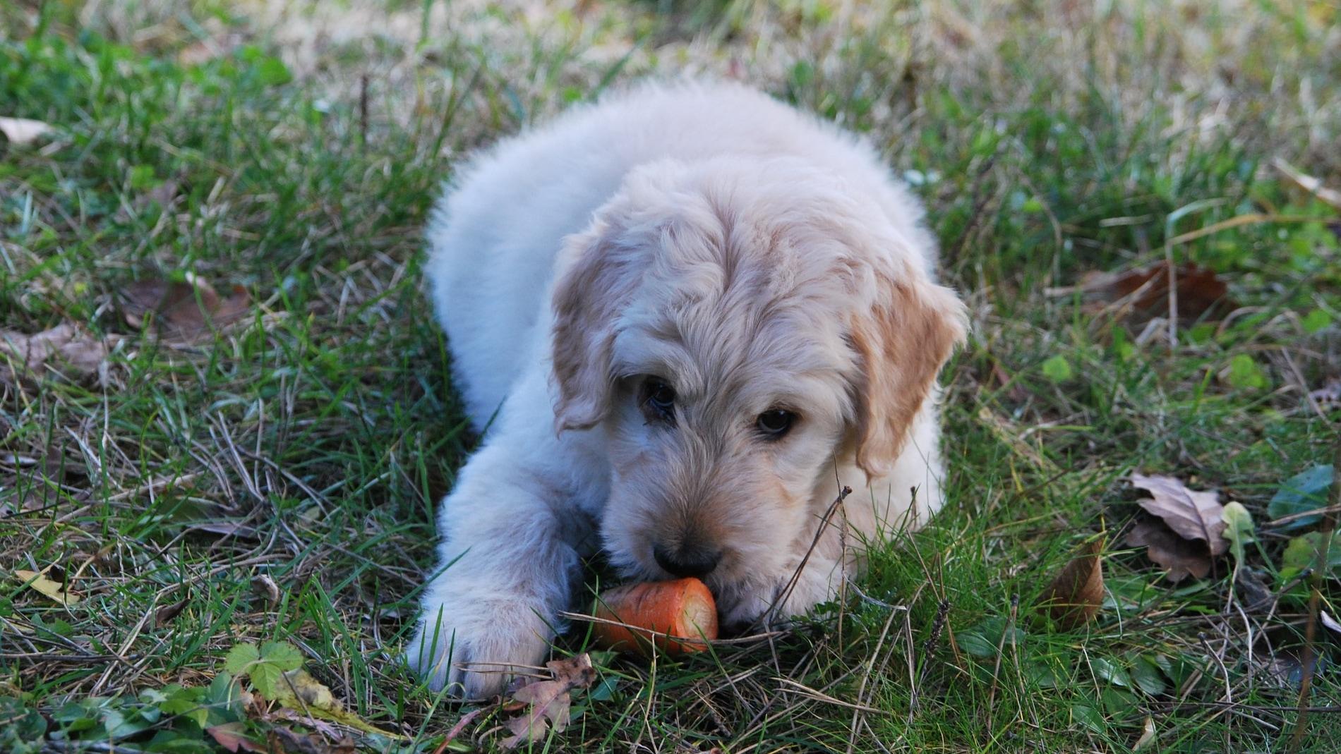Un perro juega con una zanahoria