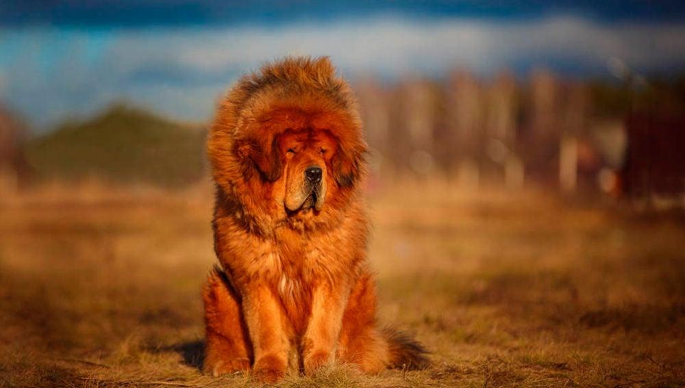 Mastín tibetano en una imagen de archivo