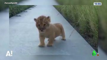 Las tiernas imágenes de un león cachorro que intenta rugir sin mucho éxito