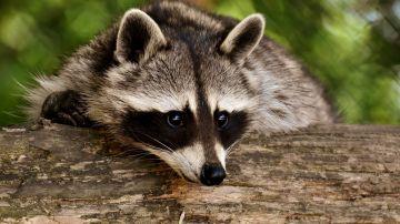 Un mapache
