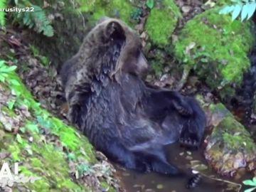 Una osa muere en Asturias tres ser rescatada en el río Teverga con heridas en una pata