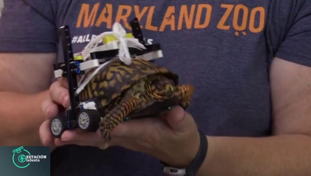 Una tortuga consigue andar gracias a una 'silla de ruedas' hecha con piezas de cosntrucción infantiles