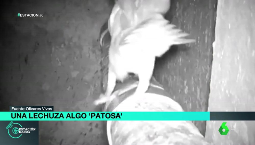 Una cámara deja en evidencia a 'la lechuza más patosa del mundo'