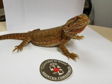 Imagen del dragón barbudo encontrado en Madrid