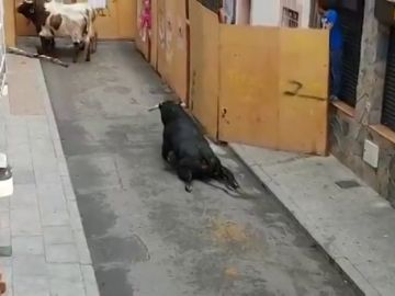 Pacma denuncia que un toro se rompe las patas nada más salir del cajón en los encierros de Mejorada del Campo, Madrid