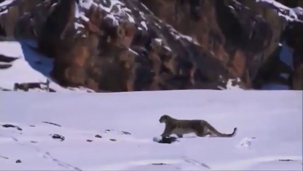 Un leopardo de las nieves en el Himalaya
