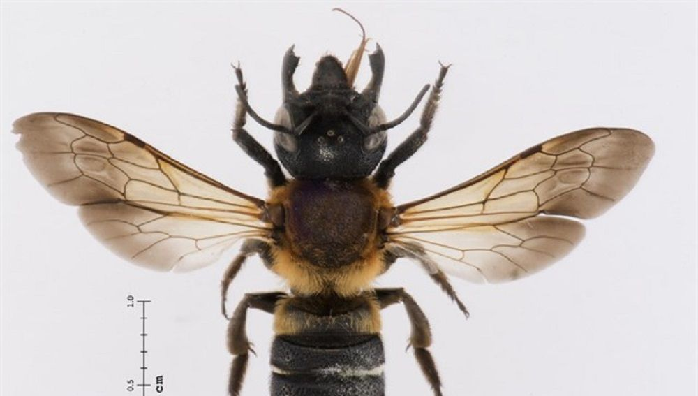 Imagen de la 'abeja gigante resina'