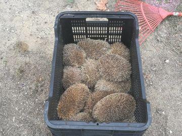 Los erizos vivos recatados por la Policía