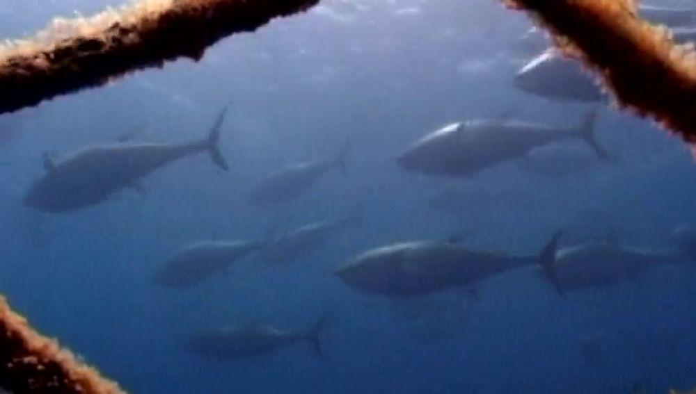 Lo consiguen ilegalmente, camuflan su mal aspecto y lo venden: el negocio del tráfico ilegal de atún rojo