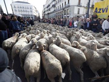 Los rebaños de ovejas pasan por la Puerta del Sol de Madrid con motivo de la Fiesta de la Trashumancia