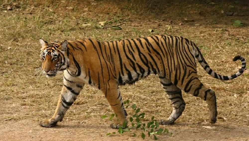 Imagen de una tigresa