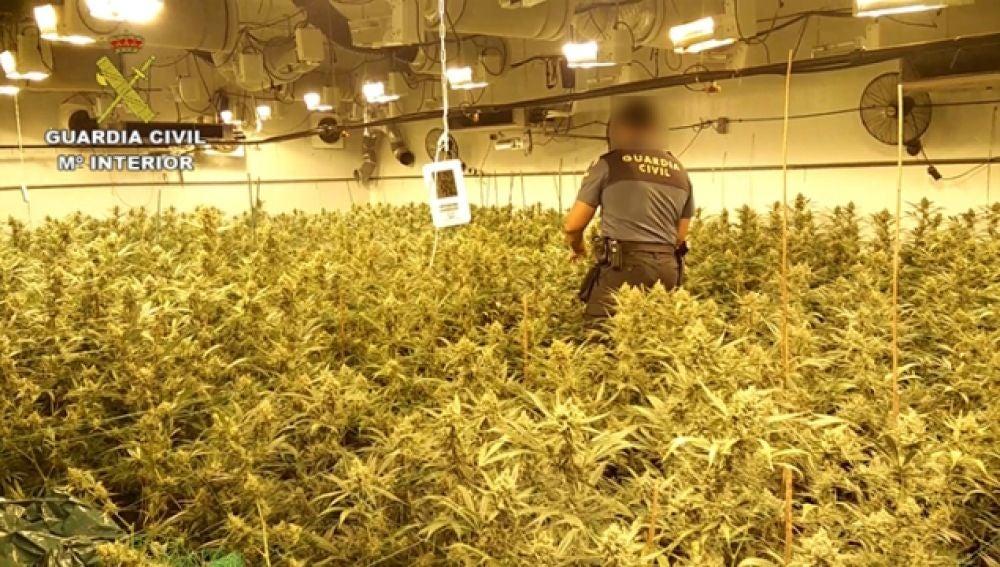 Imagen de algunas de las plantas de marihuana que se ha incautado la Guardia Civil