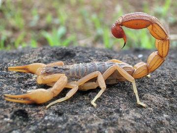 Veneno de escorpion para hacer llegar farmacos al cerebro