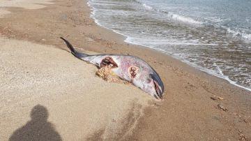 Un delfín aparece muerto con un gran corte en el vientre y sin aleta en una playa de Girona