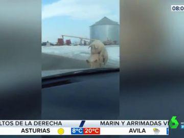 Dos cerdos copulan en mitad de una carretera