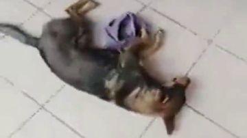 El indignante vídeo de un veterinario que se negó a atender a un perro atropellado porque no sabía si le iban a pagar