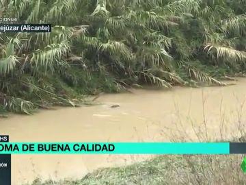 Nutria en el río Segura