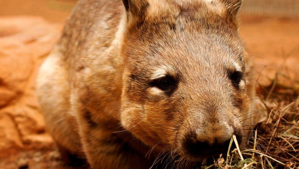 Los wómbats son los únicos animales que defecan excrementos cuadrados