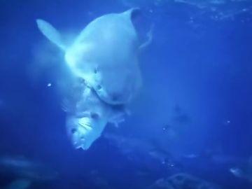 Un tiburón devora un pargo en una acuario de Finisterre