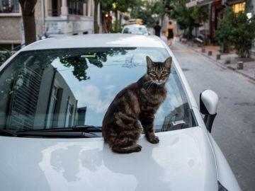 Un gato descansa sobre el capot de un coche.