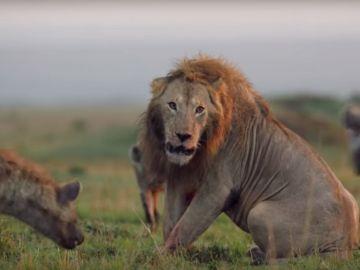 Imagen del león acorralado por una manada de hienas