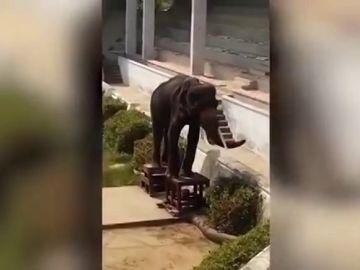 Graban la indignante escena de un elefante gravemente desnutrido obligado a hacer espectáculo en un zoo de Tailandia
