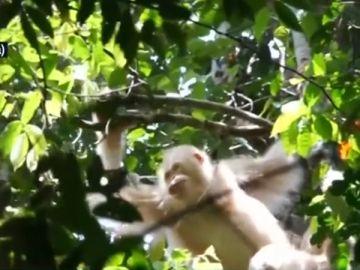 Alba, la única orangutana albina