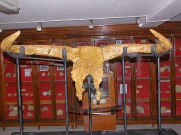 Cráneo del Uro más antiguo, antepasado de los toros (Archivo)