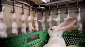 Un conejo mira a los de su misma especie, ya muertos