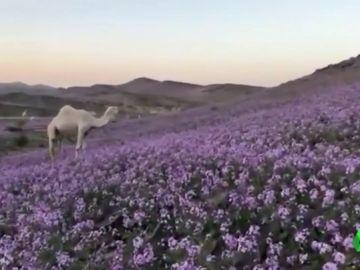 Insólitas imágenes de un desierto cubierto de flores en Arabia Saudí