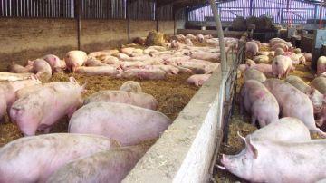 Imagen de archivo de una macrogranja de cerdos