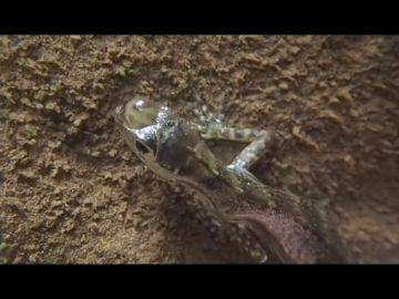 Este lagarto es capaz de crear burbujas de aire en su cabeza para aguantar largos periodos bajo el agua