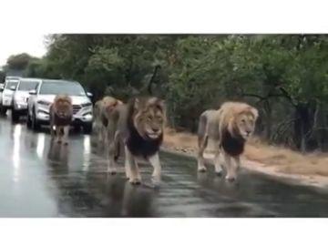 Una manada de leones en una carretera de Sudáfrica