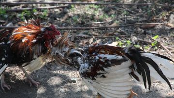 Una pelea de gallos
