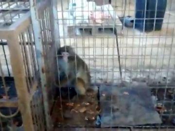 Rescatan a un grupo de monos después de 10 años encerrados en jaulas minúsculas en una finca de Guardamar del Segura