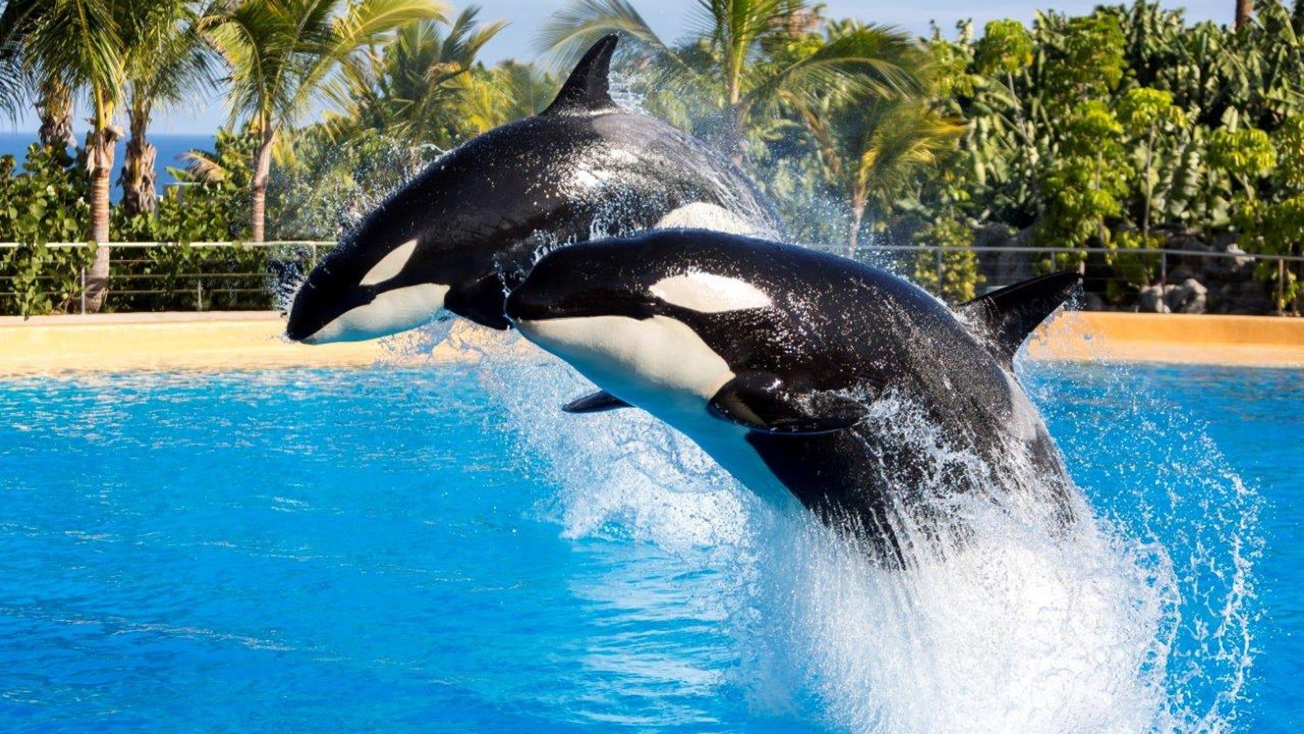 Las orcas asesinas son en realidad pacificas y sensibles