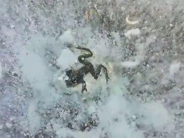 Una rana congelada en Soria