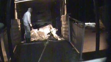 Vacas moribundas y hacinadas en camiones: las brutales imágenes de un matadero