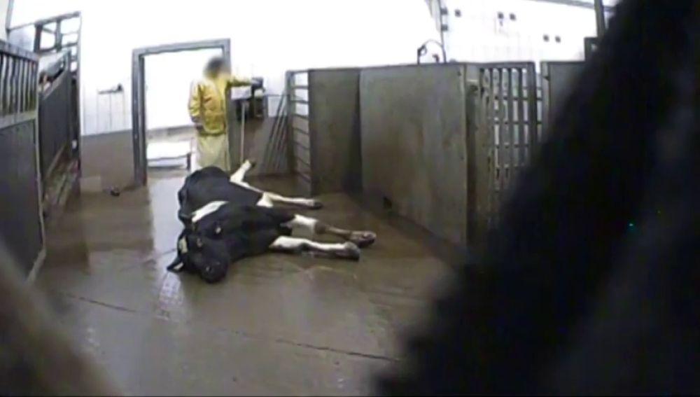 Una vaca en un matadero de Polonia