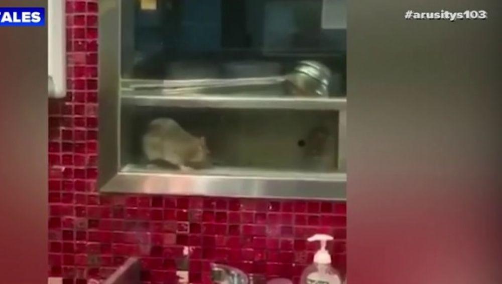 Los trabajadores de un restaurante asiático graban a una rata gigante paseando por la cocina
