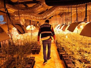 Plantación ilegal de marihuana